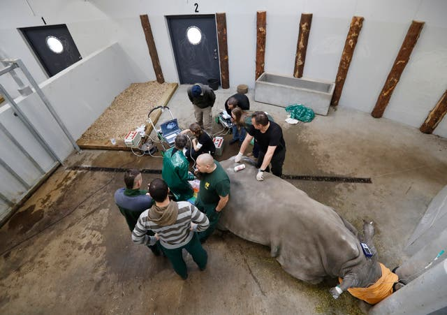 Experts harvest eggs from a female southern white rhino