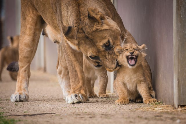 Lions cubs first day out