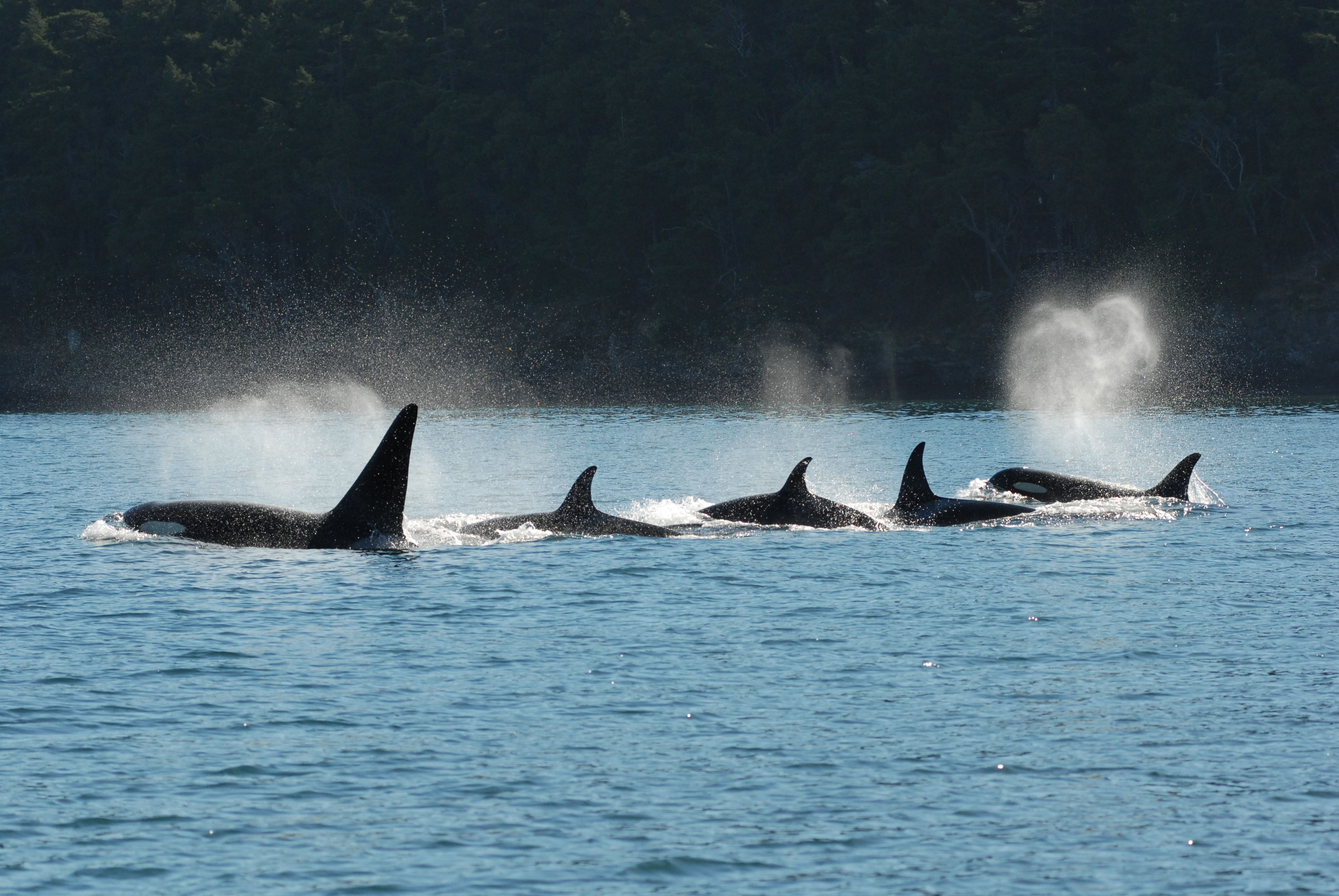 The killer whale that may say 'good day' and 'bye bye'