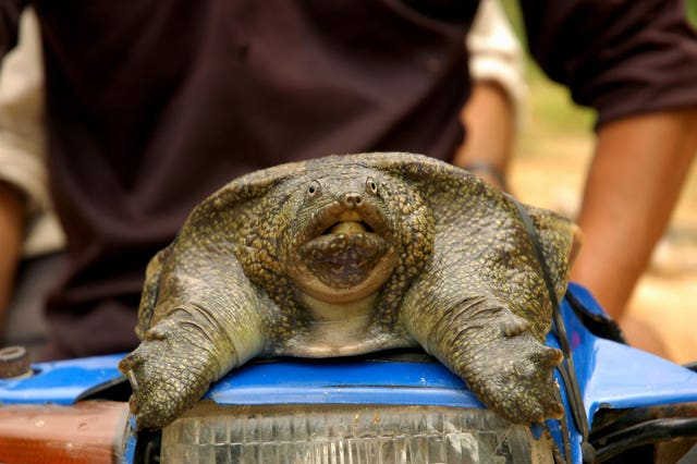 A soft shell turtle. Turtles feature on the WWF's list of 10 endangered species facing extinction due to illegal trade