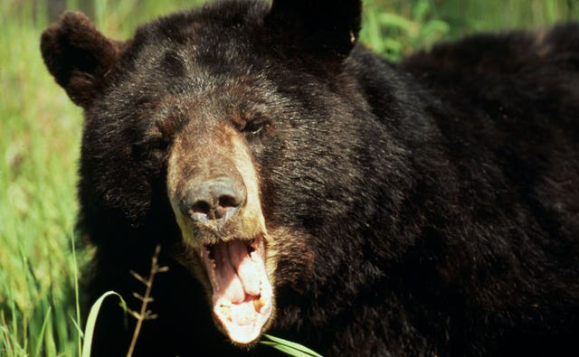 An Asiatic black bear. Bears feature on the WWF's list of 10 endangered species facing extinction due to illegal trade