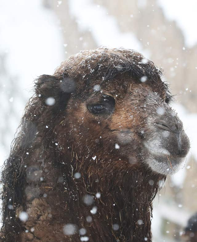 A camel looks unfazed by the weather at Mainsgill Farm, North Yorkshire (Owen Humphreys/PA)
