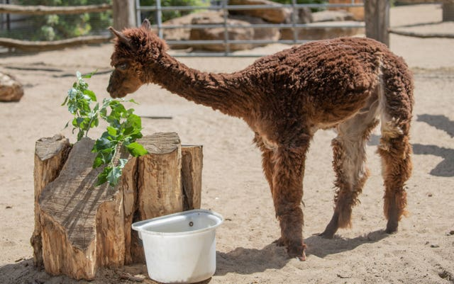 Undated handout photo issued by ZSL London Zoo of Trigger the alpaca after a lockdown haircut at the zoo to keep him cool during the country-wide heatwave