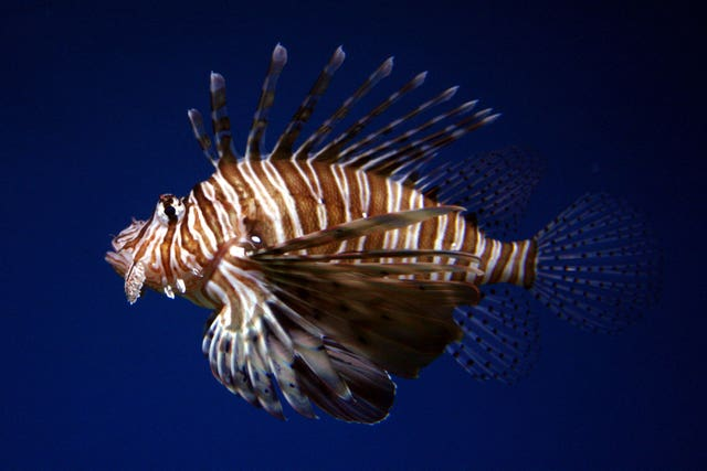 Stock – Animals – Common Lionfish