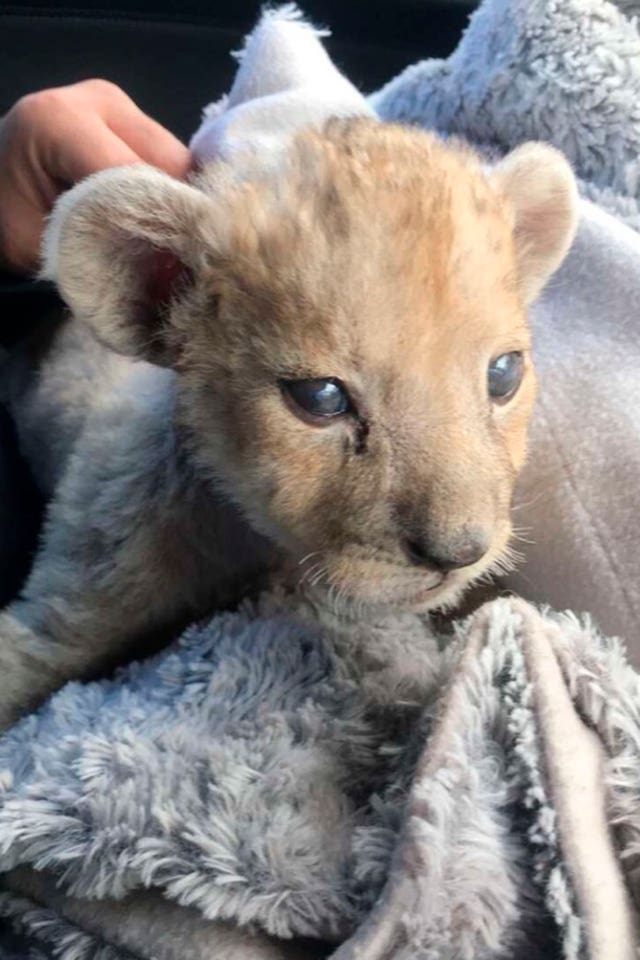 The female lion cub