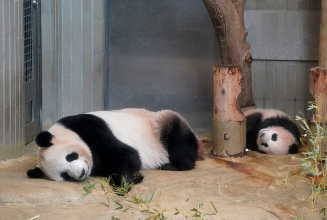 Giant panda cub Xiang Xiang, right, and her mother Shin Shin take a nap at a cage at Ueno Zoo in Tokyo, Monday, Dec. 18, 2017. The baby panda has made a special appearance before Tokyo's governor, a group of local schoolchildren and the media one day ahead of her official debut. The 6-month-old giant panda Xiang Xiang, or fragrance in Chinese, will debut Tuesday for a limited public viewing for avid fans who obtained tickets in a highly competitive lottery process. (Shizuo Kambayashi/AP)