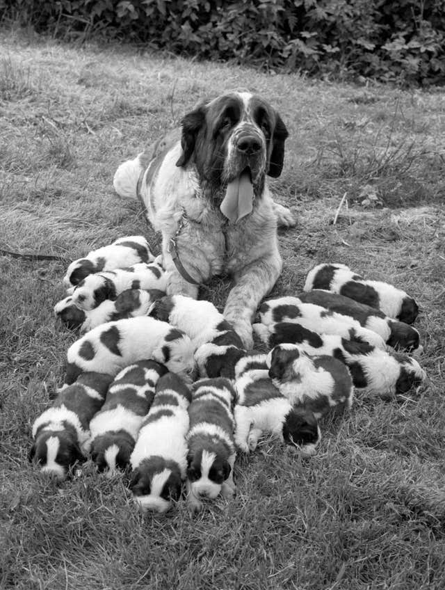 A dog with her 15 puppies