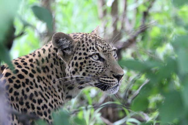 A leopard, which features on the WWF's list of 10 endangered species facing extinction due to illegal trade