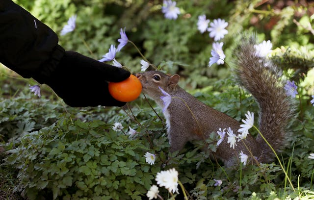 A woman offers a piece of fruit to a squirrel in Dublin's Botanic Gardens