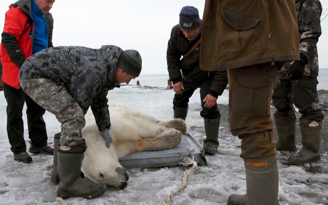 Russia Polar Bear's Journey