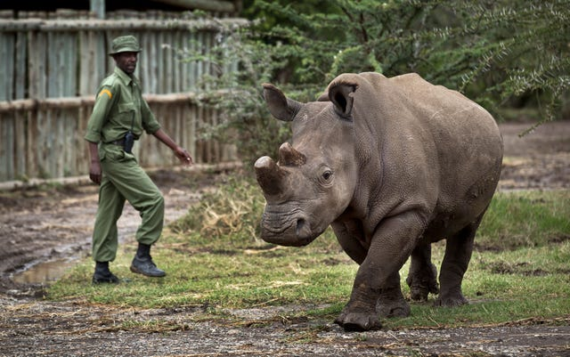 The mother and daughter northern white rhinos that live in a Kenya wildlife preserve are not capable of bearing calves (Ben Curtis/AP)