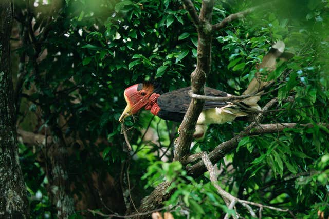 A helmeted hornbill, which features on the WWF's list of 10 endangered species facing extinction due to illegal trade