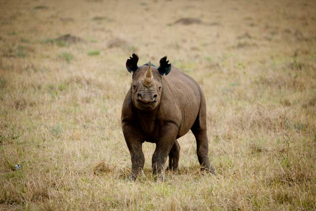 A rhino, which features on the WWF's list of 10 endangered species facing extinction due to illegal trade