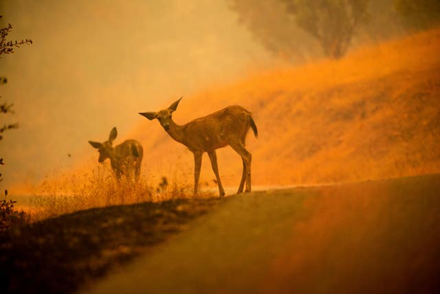 Deer grazing on the side of the road as the Carr Fire burns in the distance