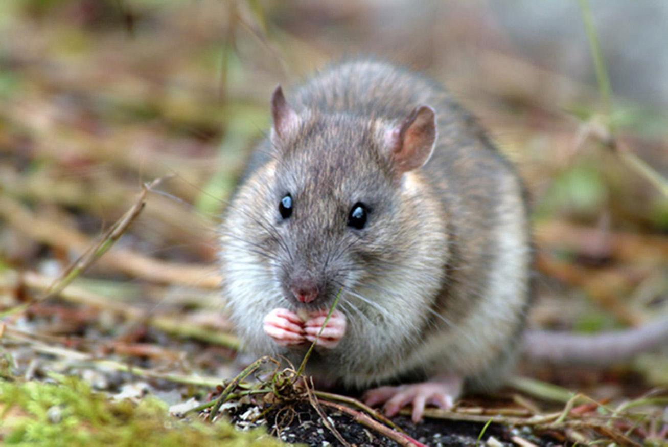 Black Death: Plague was spread by humans and not rats, study suggests