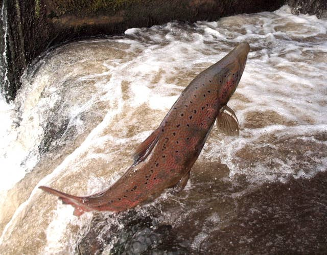 Migrating salmon (Environment Agency/PA)