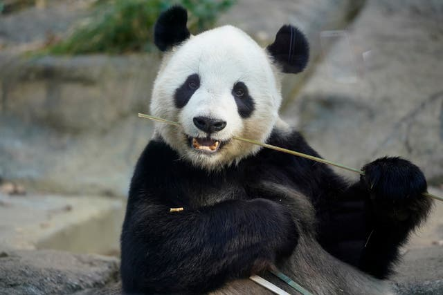 Ueno Zoo's Ri Ri, father to six-month-old giant panda cub Xiang Xiang (Shizuo Kambayashi/AP)