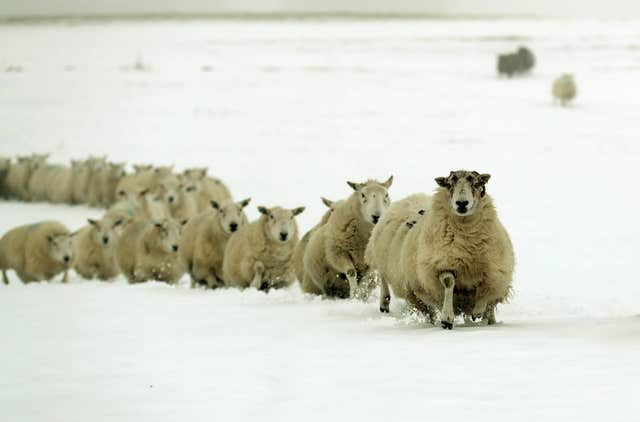 Sheep run through the snow on Craigannet Farm in the Carron Valley near Stirling (Andrew Milligan/PA)