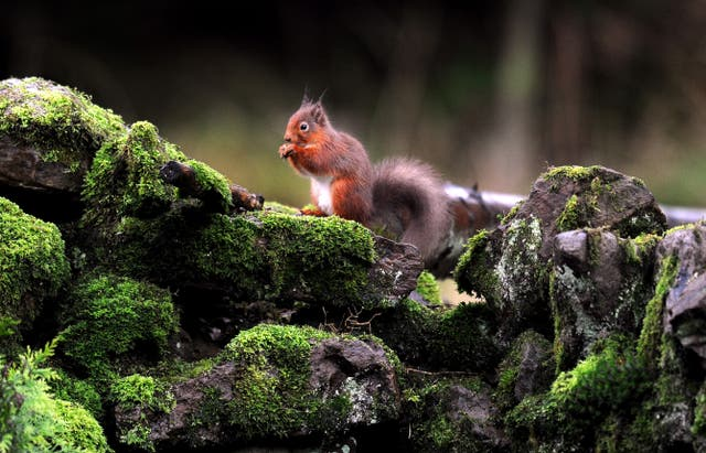 A red squirrel on a stone wall in Kielder Forest, Northumberland (Owen Humphreys/PA)