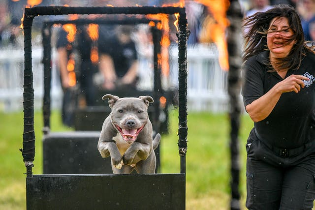 A Staffordshire bull terrier and handler brave the fire hoops