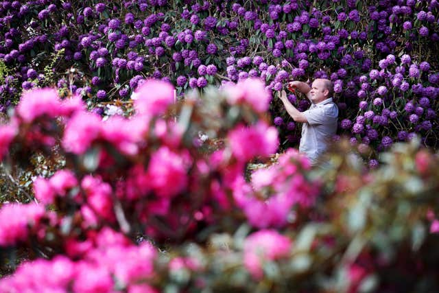 John Dunn, supervisor of the herbaceous department at the Royal Botanic Garden Edinburgh, carries out some pruning on a rhododendron niveum on display at the Scottish Rhododendron Festival (Jane Barlow/PA)