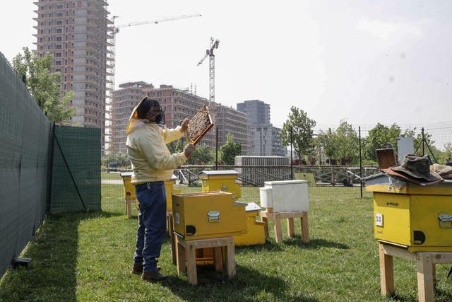 Italy Beekeeper Francesco Capoano moves a frame from a hive at an apiary in Milan, ItalyDay