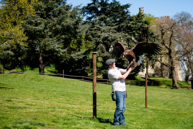 Head falconer Chris O'Donnell with a white-tailed sea eagle at Warwick Castle