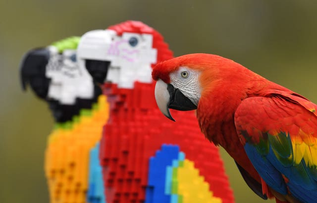 Inca, a Scarlet macaw, comes face to face with Polina and Pearl, a life-size sculpture of a Scarlet macaw and a Blue-and-gold macaw, constructed from 1,800 Lego bricks at ZSL Whipsnade Zoo
