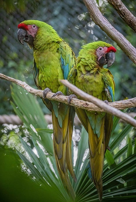 Macaws at Chester Zoo (Chester Zoo/PA)
