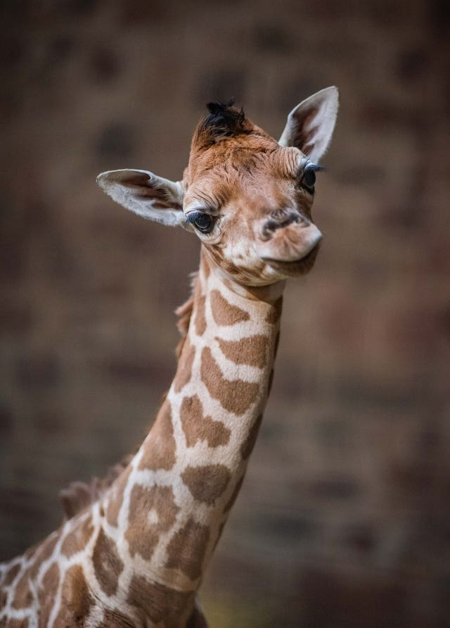 CCTV footage showed the birth of a rare baby giraffe at Chester zoo. (Chester zoo/PA)