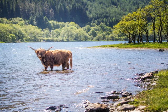 A Highland cow cools off in the waters of Loch Lubnaig (Jane Barlow/PA)