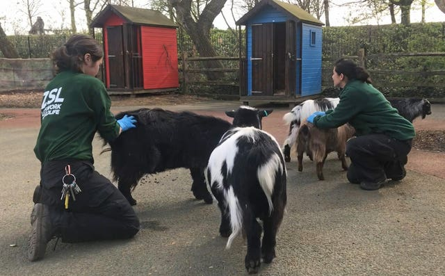 Handout photo issued by ZSL London Zoo of Pygmy goats at the locked down zoo which are being given extra attention from keepers after they realised the animals were missing being petted by visitors