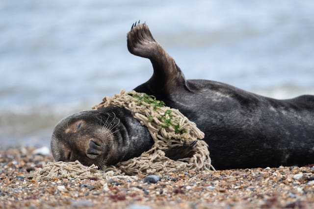 Plastic litter affecting seals