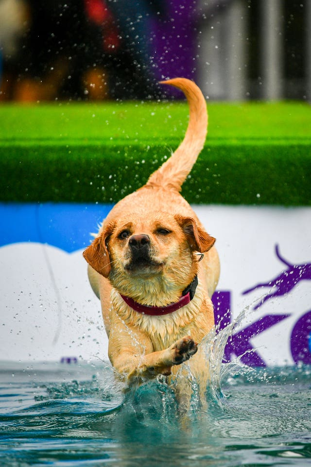 A Labrador jumps into a pool at Bristol Dogfest