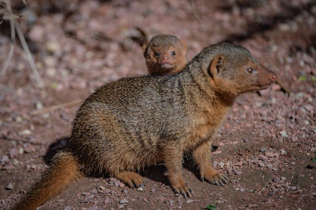 Baby mongoose born at Chester Zoo