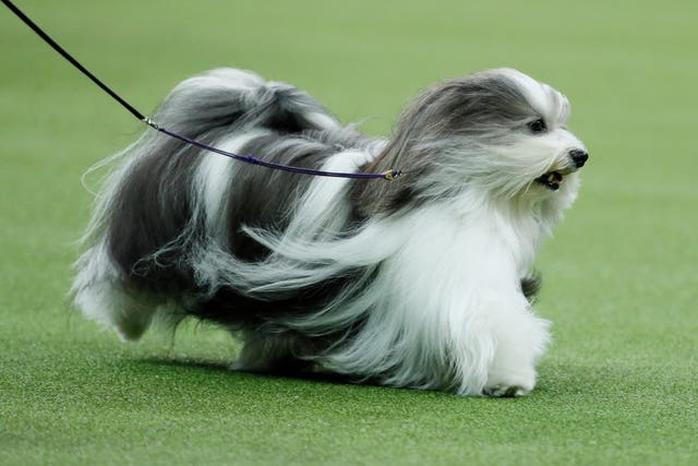 Bono, the Havanese, competes during 144th Westminster Kennel Club dog show