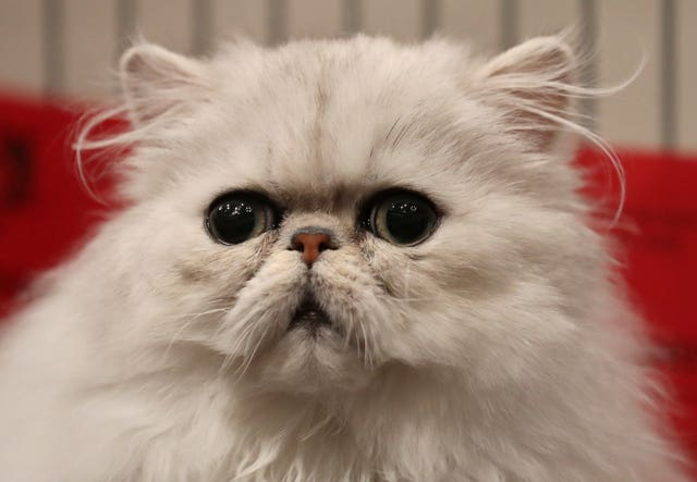 An exotic shorthair cat