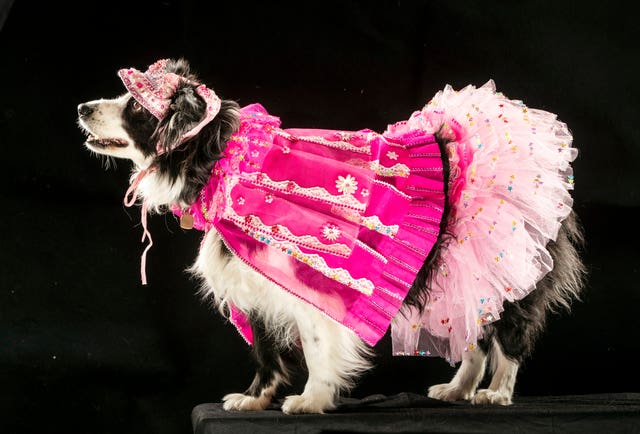 Magic the Border Collie dog wearing a 'Ladies day at the races' themed dress