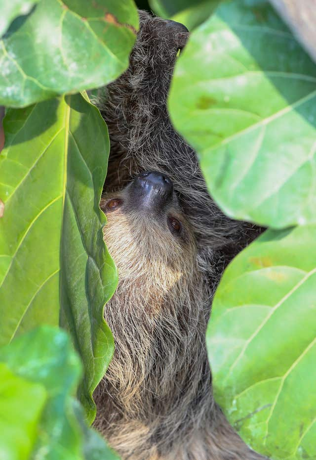 Rica the two-toed Sloth in the new Tropical House at Marwell Zoo in Hampshire (Andrew Matthews/PA)