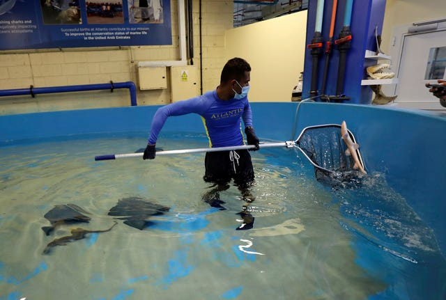 An employee catches a baby Arabian carpet shark as part of a conservation project at the fish quarantine facilities of the Atlantis Hotel in Dubai, United Arab Emirates