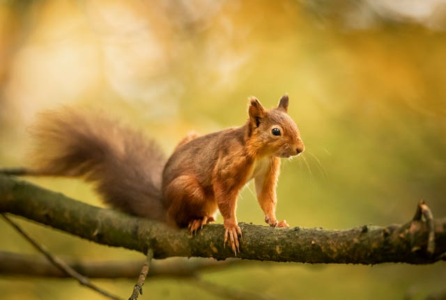 Red squirrel forage ahead of winter as their numbers decline
