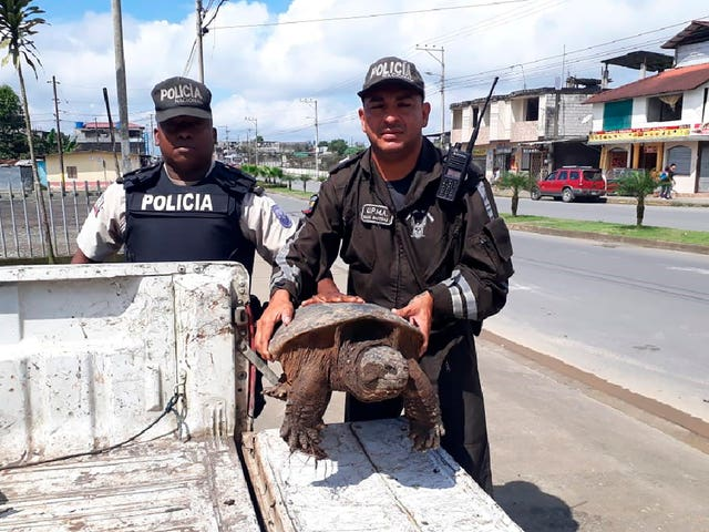 Officers with Ecuador's Environmental Police hold a snapping turtle