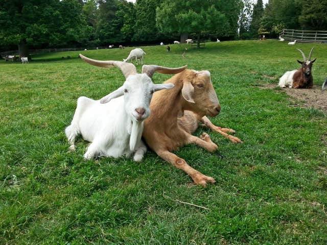 Goats can pick out emotional changes in the calls of other goats
