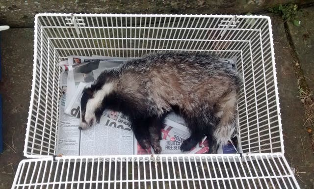 Badger rescue