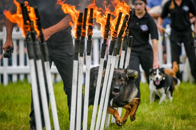 A dog runs between burning poles during a K9 demonstration
