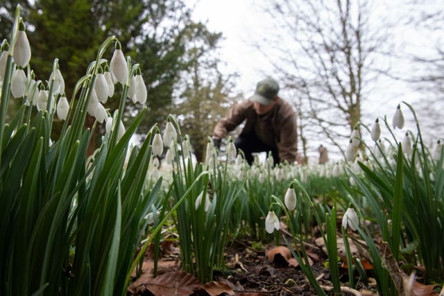 Gardeners tend to the first snowdrops of the season at Audley End House and Gardens