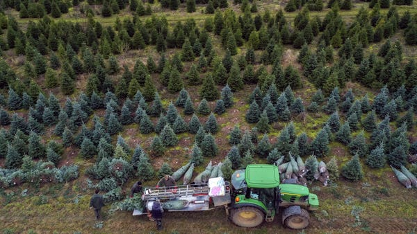 Video: Christmas tree farms are really quite spectacular