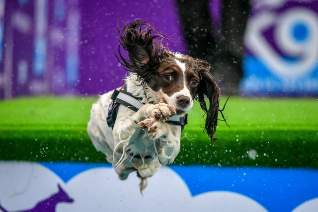 A spaniel makes a flying leap