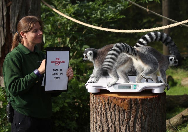 Annual weigh-in at Whipsnade Zoo