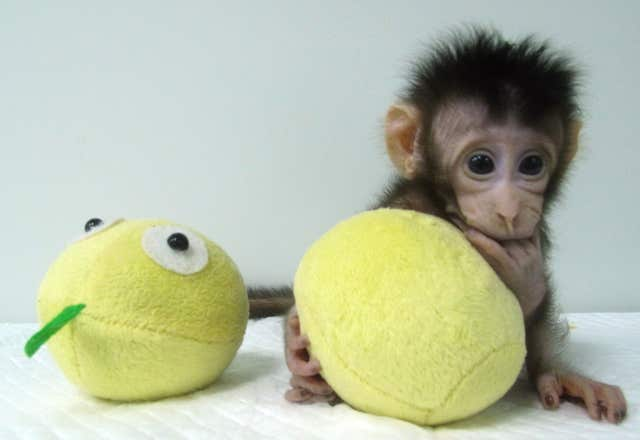 First primates cloned using transferred DNA